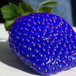 Οι μπλε....φράουλες!
