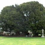 Το αρχαιότερο δέντρο της χώρας!