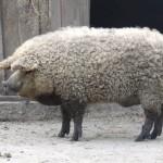 Mangalitsa: Το αστείο....γουρουνοπρόβατο!