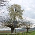 Tο «διπλό δέντρο της Casorzo»!