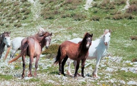 Τα άγρια άλογα επιστρέφουν στο Σούλι