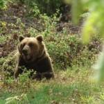 Αρκούδες σε Πίνδο και Ροδόπη