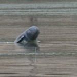 Στο χείλος της εξαφάνισης τα δελφίνια Irrawaddy