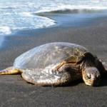 4 νεκρές χελώνες καρέτα-καρέτα