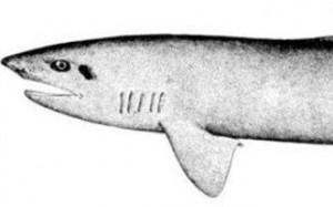Ο καρχαρίας που έχει την ικανότητα να γίνεται αόρατος