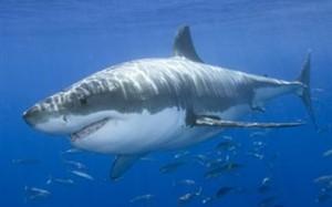 Ο άνθρωπος αφανίζει τους καρχαρίες