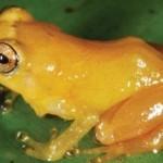 Χρυσός βάτραχος «βάφει» τον εχθρό του