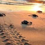Τα πρώτα χελωνάκια έφτασαν στη θάλασσα