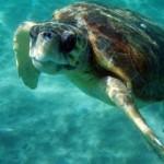 Οχτώ νεκρές θαλάσσιες χελώνες βρέθηκαν τον Αύγουστο